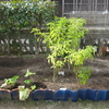 【家庭菜園】ミニゴボウを収穫しました(最後)