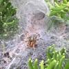 クモの巣と隠れ帯