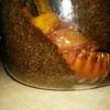 カブトムシ幼虫、2匹目がサナギに。まさかの・・・