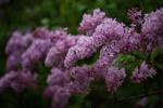 満開まで間近! ライラックの咲く札幌・大通公園へ。