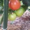 6月12日家の家庭菜園「皆さんのカラスへの対策はどんな感じですか?」