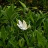 クチナシの花のさきはじめ