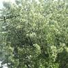 実のなる木、そして、サガン