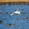 水鳥で賑わう神之池とミコアイサ♀♂