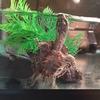 ミシシッピニオイガメの腹祭り