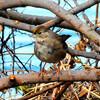 こんなところにキガシラシトド 珍鳥、松戸で羽休め