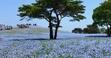 ネモフィラとコキア 国営ひたち海浜公園のアクセスや駐車場 料金など