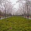 上海は風と雨で桜がだいぶ散ってしまいました。週末桜+和服ポートレート