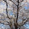 見上げてみれば空は桜。