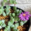 続!!今年も碧漁連を増やしたい!挿し芽が成長!お花も咲きました!