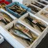 2020年8月11日 小浜漁港 お魚情報