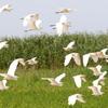 飛翔するアマサギ・チュウサギの混群
