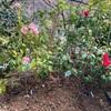 春の台、赤春の台 地植え