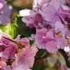 晴天の命日…紫陽花と菩提樹