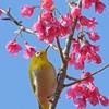 【子供に教えたい、七十二侯】2月8日〜2月12日  「 黄鶯睍睆」(うぐいすなく)