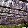 藤が咲き始めています