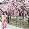 佛光寺の春。2018年の桜の開花状況。