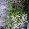 ふわっと優しいは風さんと名付けたバラは優しく雑草達を受け入れたようです