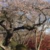 塩釜神社の四季桜