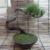 赤松盆栽2号 乾燥苔移植その2