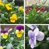春の花三題 1. 11月に種を蒔き,何とか花を咲かせるまでになったビオラ.いくつかのポットに分けてあげないといけないのですが--- 2. 我が家で春を告げるトップバッターはジンチョウゲ.今年は花を開きそうになったまま,まだ開花しません.3.庭の片隅に忘れかけていたキンギョソウに花が一輪つきました.シソ目/オオバコ科/キンギョソウ属.オオバコと同じ科!英語では龍の口に似ていることでスナップドラゴン.