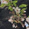 雑司が谷・お花見散策。桜祭りとメロンパンと。