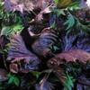 夏バテに素晴らしい効果を発揮してくれる「紫蘇ジュース」