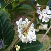 ヒイラギモクセイ(柊木犀)の白い花