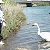 登別・幌別川の傷ついた白鳥、今どこに−と市民も心配