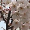 桜パトロール