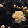 我が家にしてはモッコウバラの開花が見事です