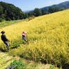 稲刈り初体験