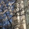 今年の一番桜