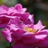 秋の薔薇【その4】