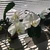 久しぶりの出勤〜胡蝶蘭が綺麗に咲いた!
