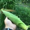 トウモロコシを栽培してみてわかったこと