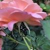 ゴマダラカミキリムシはバラの敵