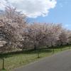 約4kmもの八重桜並木が楽しめる!小布施町「千曲川河川公園 桜堤」