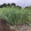 【緑肥】種子の入る鞘を付け出したセスバニア