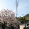 観音免の桜