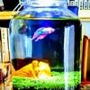 【ボトルアクアリウム】生体導入!!【100均アクアリウム】