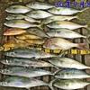 9月は何を釣りますか?【 釣魚録 / in 日本海 】 ※順次更新👍