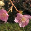 中央地区の桜、村富神社!