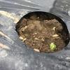 えんどう豆の芽が出た!