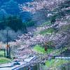 関西本線・桜風景(2021)