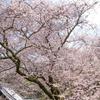 桜を見れることは、一年、生きたご褒美である