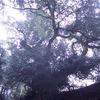 巨木めぐり