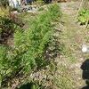 秋野菜と落花生収穫っ