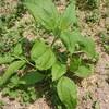 白菊芋と紫菊芋の栽培は見た目に違いがあるのか実際に栽培して比較中です