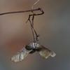 イロハモミジの種